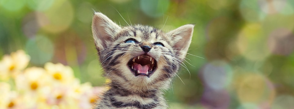 Header-Katze-miaut
