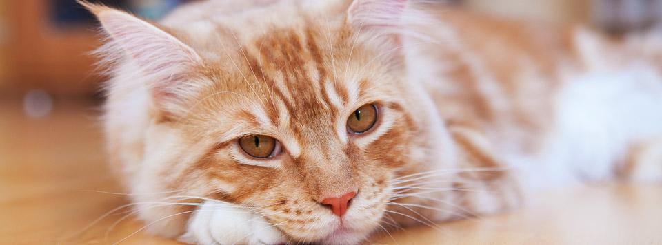 Header-Durchfall-bei-Katzen