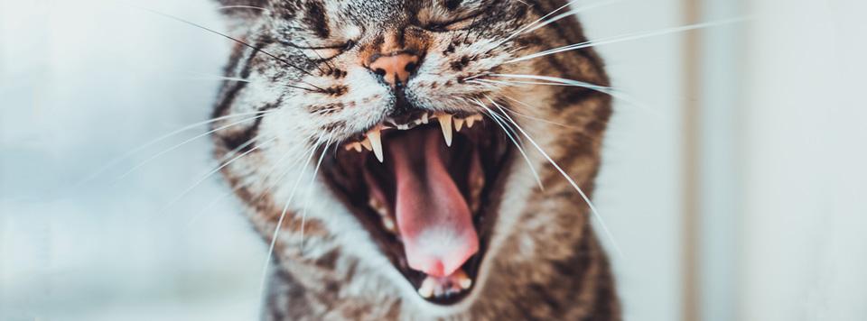 Zahnpflege-bei-Katzen